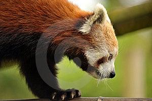 Beautiful Red Panda Stock Images - Image: 19683134