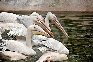 Group Of Pelicans Stock Photos - Image: 19683153