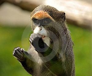 De Brazzas Monkey Stock Image - Image: 19683181