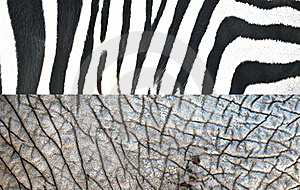 Texture Of Zebra And Elephant Royalty Free Stock Photos - Image: 19683218