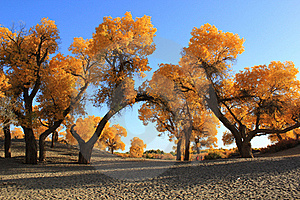 Poplars Forest Stock Images - Image: 19684464