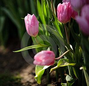 Pink Tulip Stock Photos - Image: 19690353
