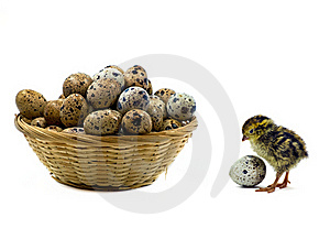 Baby Quails And Wood Basket Filled With Eggs Stock Photo - Image: 19692070