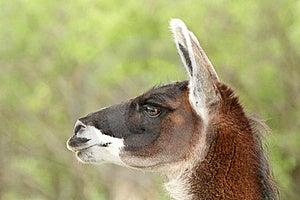 Lama Portrait Royalty Free Stock Photography - Image: 19692147