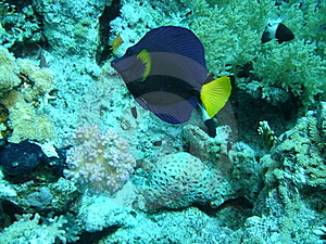 A Blue Fish At Sharm El Sheikh, Egypt Stock Image - Image: 19695001