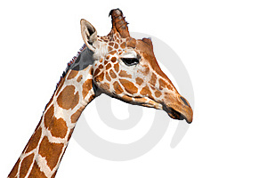 Giraffe Head Stock Photography - Image: 19695852