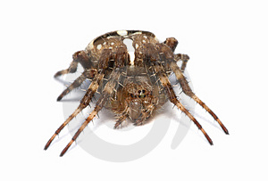 Spider Royalty Free Stock Images - Image: 1973129