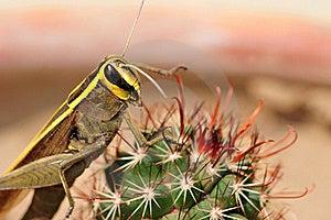 Yellow Back Grasshopper Royalty Free Stock Photos - Image: 19707558