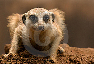 Mongoose Royalty Free Stock Images - Image: 19707899