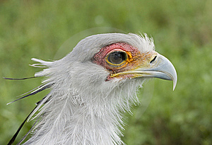 Secretary Bird Stock Photo - Image: 19707960