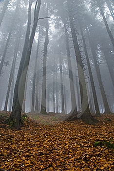 Foggy Forest Royalty Free Stock Image - Image: 19708186