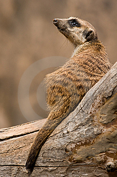 Mongoose Royalty Free Stock Image - Image: 19709186