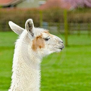 Een Lama. Stock Foto - Afbeelding: 19709240