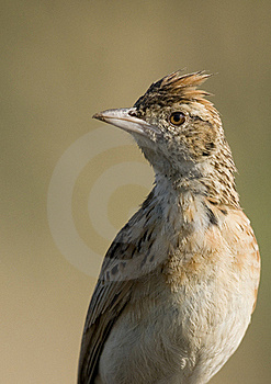 Rufous Naped Lark Royalty Free Stock Photography - Image: 19709687