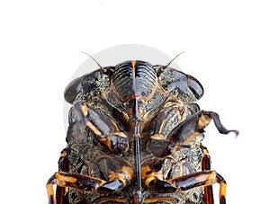 Cicada Stock Photo - Image: 19712740