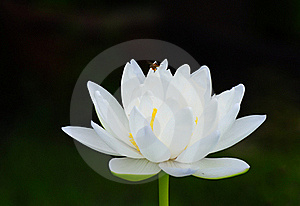 Bee And White Lotus Royalty Free Stock Images - Image: 19713759