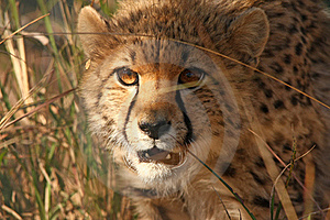 Cheetah Cub Stock Images - Image: 19714454