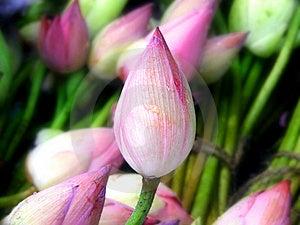 Lotus Bud Royalty Free Stock Photography - Image: 19715157