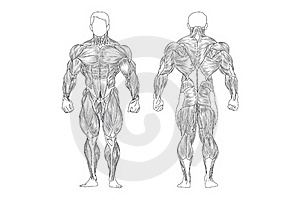 Male Muscles Royalty Free Stock Images - Image: 19716699