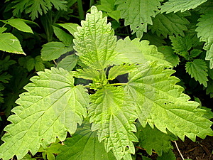 Wild Nettle Royalty Free Stock Images - Image: 19719589