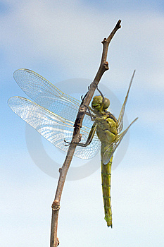 Orthetrum Cancellatum / Black-tailed Skimmer, Fema Stock Photos - Image: 19721233