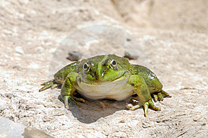 Smiling Frog - Edible Frog - Pelophylax Kl. Escule Royalty Free Stock Images - Image: 19722439