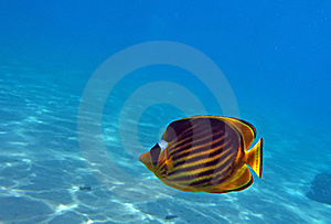 Diagonal Butterflyfish Stock Photography - Image: 19724422