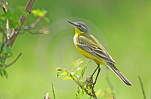 Yellow Wagtail Stock Images - Image: 19727964