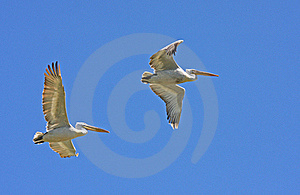 Dalmatian Pelicans In Flight Stock Photos - Image: 19727973