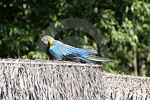 Blue And Gold Macaw, Peru, South America Stock Photography - Image: 19728782