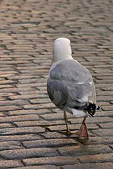 Albatross On The Roadway. Royalty Free Stock Photos - Image: 19734158