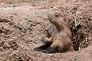 Prairie Dog In Hole Royalty Free Stock Images - Image: 19735249