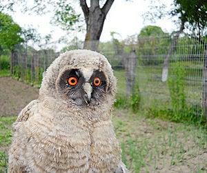 Wild Baby Owl Stock Images - Image: 19735344