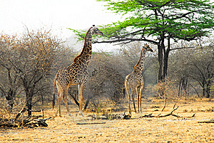 Masai Giraffes In The Selous Reserve Stock Photography - Image: 19737662