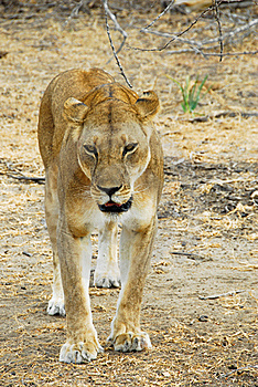 Lioness Stalking In The Selous Reserve Stock Image - Image: 19737901