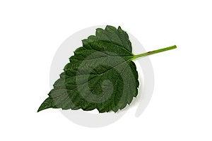One Hop Leaf Stock Images - Image: 19749534