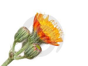 Orange Flower Stock Photo - Image: 19750100