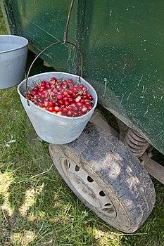 Hand Picked Organic Cherries Royalty Free Stock Image - Image: 19753936