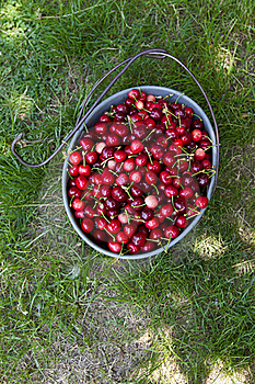 Hand Picked Organic Cherries Royalty Free Stock Photo - Image: 19753955