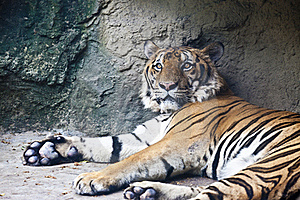 Lying Tiger Stock Photography - Image: 19755602