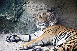 Lying Tiger Stock Photography - Image: 19755602