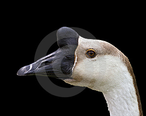 Goose Portrait Stock Photography - Image: 19757512