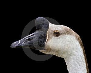Goose Portrait Stock Photography - Image: 19757512