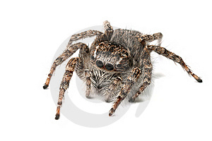 Jumping Spider Isolated Royalty Free Stock Images - Image: 19766199