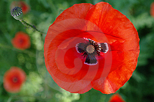 Red poppies.2
