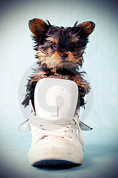 Yorkshire Pup In Shoe Stock Images - Image: 19770784