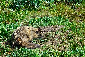 Hoary Mountain Marmot Royalty Free Stock Images - Image: 19780409