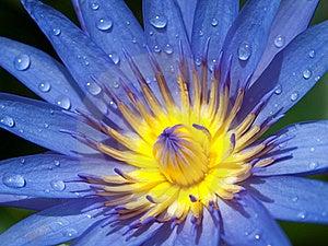 Purple Lotus And Yellow Pollen Stock Image - Image: 19780621
