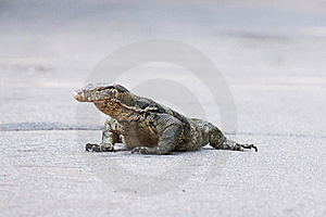 Monitor Lizard Royalty Free Stock Images - Image: 19782999