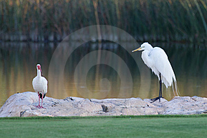 Great White Egret And American White Ibis Stock Photography - Image: 19785652